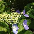 紫陽花・浜離宮恩賜庭園 (15)