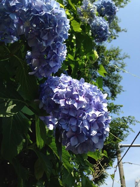 紫陽花・飛鳥の小径・飛鳥山公園12