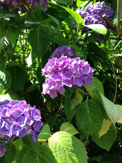 紫陽花・飛鳥の小径・飛鳥山公園16