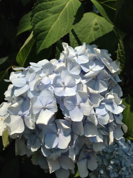 13.06.09.紫陽花・飛鳥の小径・飛鳥山公園18