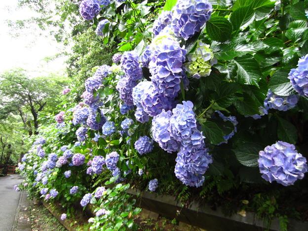 鎌倉 明月院通り・紫陽花2