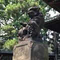 Photos: 荏原神社(北品川)の狛犬・吽。