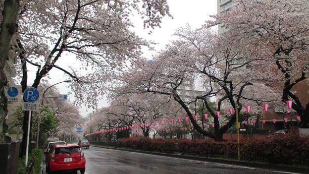 14.04.03.播磨坂(文京区小石川)