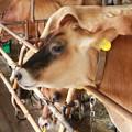 牧歌の里の牛小屋
