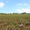 牧歌の里の倒れたコスモス畑