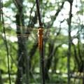 ~蜻蛉のなる木~