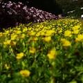 ~黄色い絨毯~