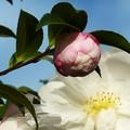 写真: ~山茶花さざんか咲いた道~