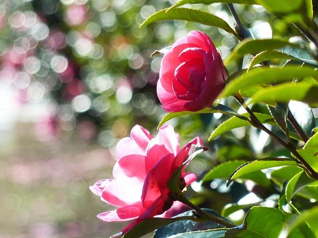 Photos: ~雨上がりの山茶花~