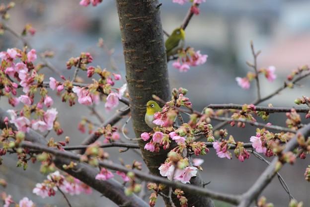 Photos: ~一足お先のお花見~