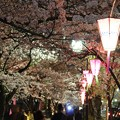 写真: ~かまぼこ桜祭~