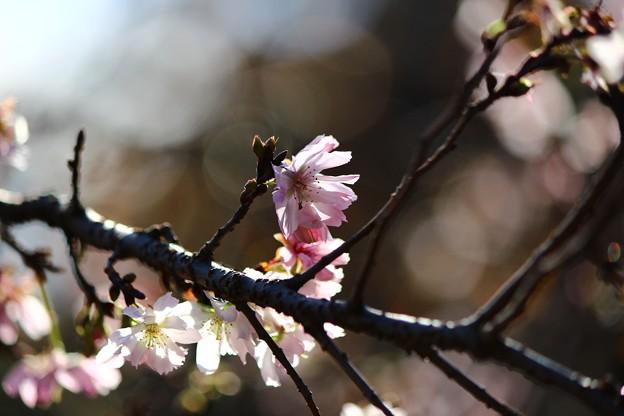 Photos: ~秋の陽射しに桜咲く~