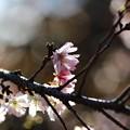 ~秋の陽射しに桜咲く~