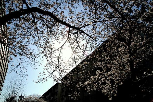 Photos: 桜・光と影