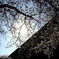 桜・光と影