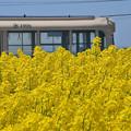 1006号と菜の花畑