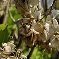 アジサイ 去年の枯れ花