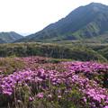 阿蘇山ロープウェー付近のミヤマキリシマ(4)