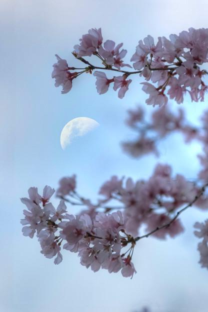 コヒガンザクラと上弦の月(月齢8.3)