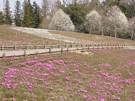 秩父芝桜の丘2