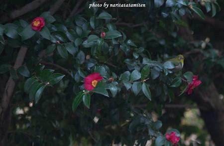 山茶花メジロ01