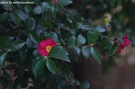 山茶花メジロ04