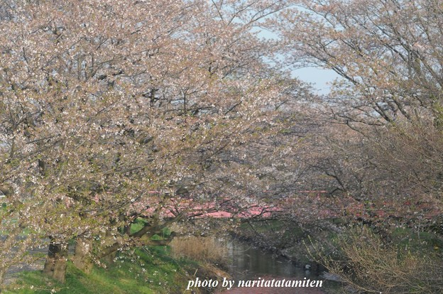 桜市が中止3