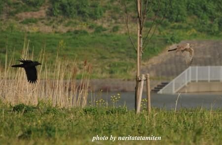 オオタカの幼鳥6