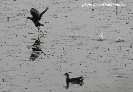 バンの若鳥06