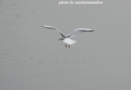 古利根川のユリカモメ17