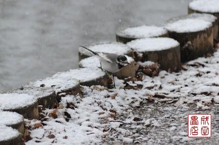 雪セキレイ02