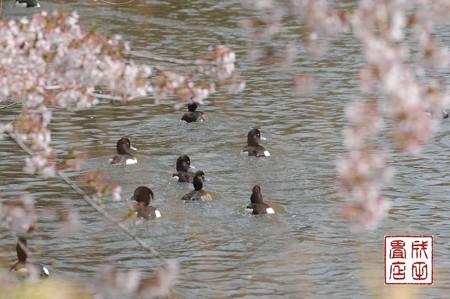 桜キンクロ05