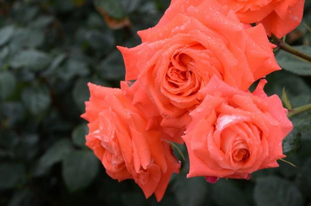 響灘グリーンパークの薔薇