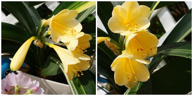黄花クンシラン