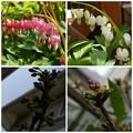 Photos: 心の花&桜