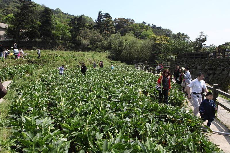 IMG_0312台湾陽明山_海芋祭と七星山登山