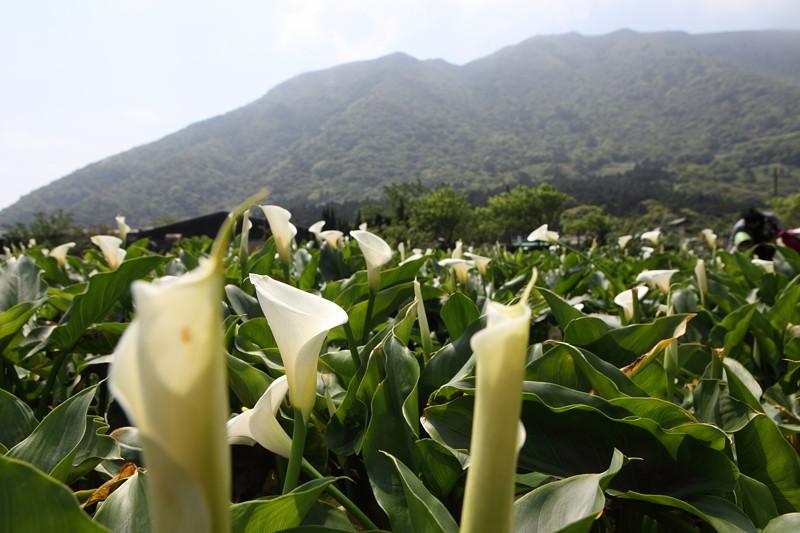IMG_0322台湾陽明山_海芋祭と七星山登山