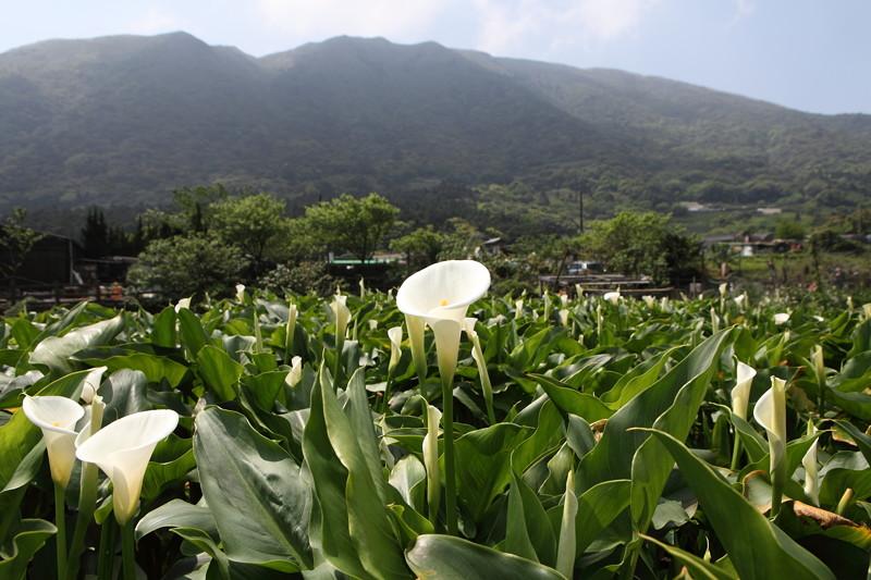 IMG_0328台湾陽明山_海芋祭と七星山登山