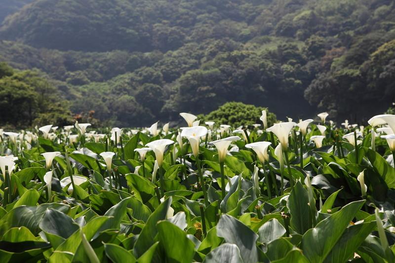 IMG_0359台湾陽明山_海芋祭と七星山登山