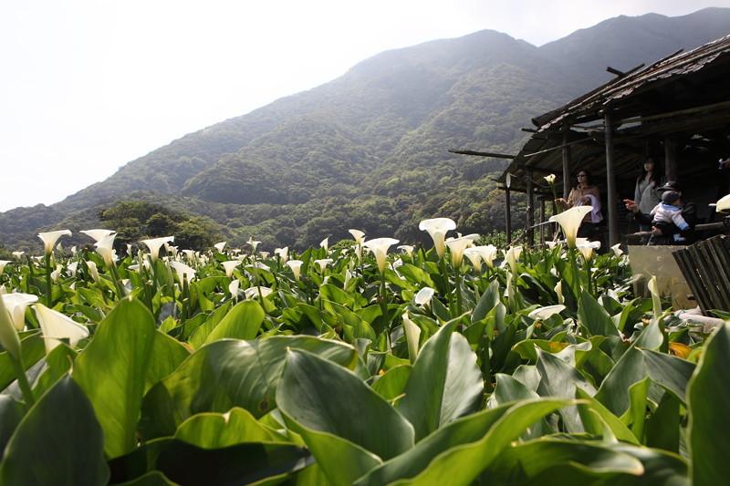 IMG_0360台湾陽明山_海芋祭と七星山登山