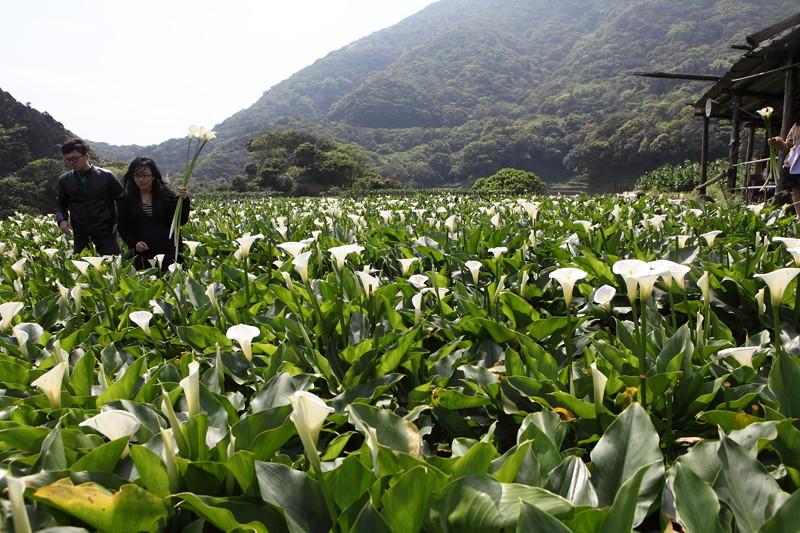IMG_0361台湾陽明山_海芋祭と七星山登山