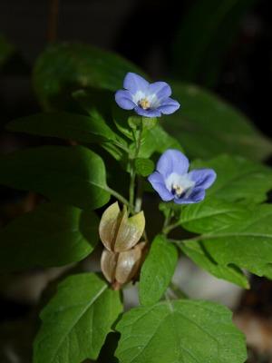 「オオセンナリ」の空色の花と実
