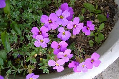 Photos: 130416-3 紫の花