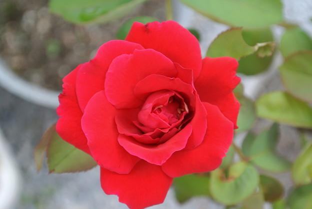 130923-2 挿し木の赤いバラ