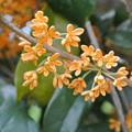 Photos: 131002-1 金木犀の花
