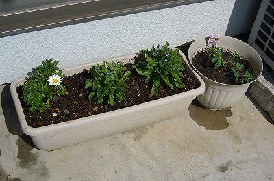 140307-2 プランターに植えた春の花達