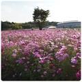 写真: 20121020 100万本のコスモス(モリコロパーク)