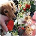 写真: 20130223 JURIとイチゴ
