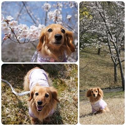 20130330 桜とコラボ