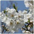 20130330 桜(白)